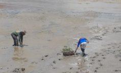 DPD KNPI Dumai Lakukan Pembibitan Mangrove Bertahap
