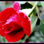 Mawar Berduri Apa Duri Bermawar